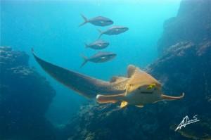 Leoparden Hai am Anemone Reef