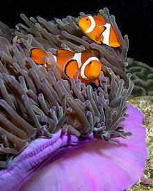 Anemonen Reef - Tauchplätze Phuket Thailand