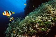 Tauchen in Phi Phi Island - Clownfisch