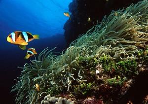 Tauchen Koh Phi Phi Island - Clownfisch