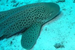 Tauchen Thailand in Koh Haa Yai mit Leopardenhai